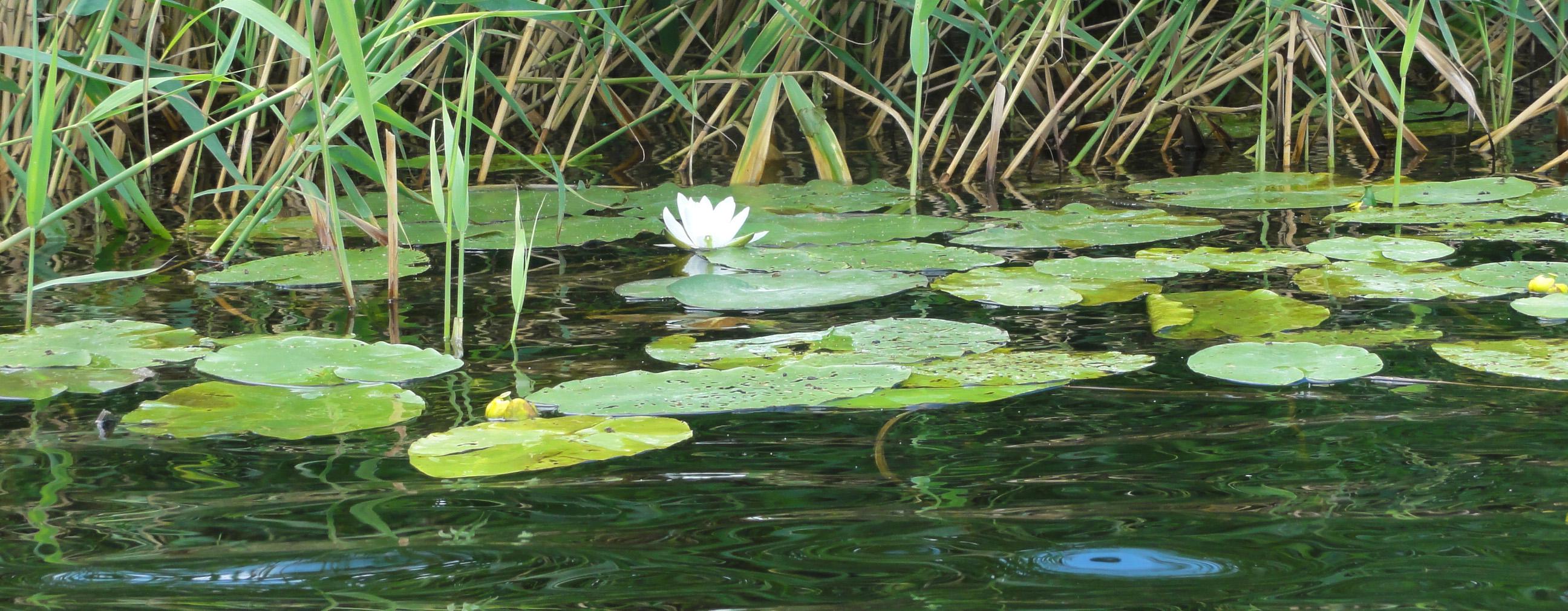 Кувшинка в камышах лето река пейзажи природы Альберт Сафиуллин