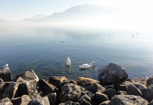 Лебеди на Женевском озере. Февраль