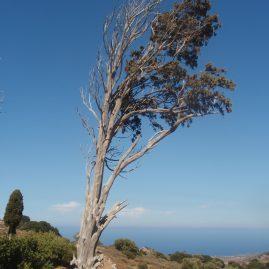 Одинокое старое дерево Родос пейзажи природы Сафиуллин