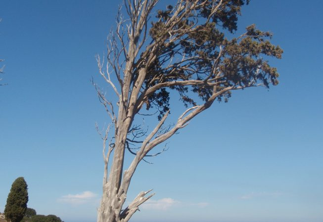 Одинокое старое дерево - Родос