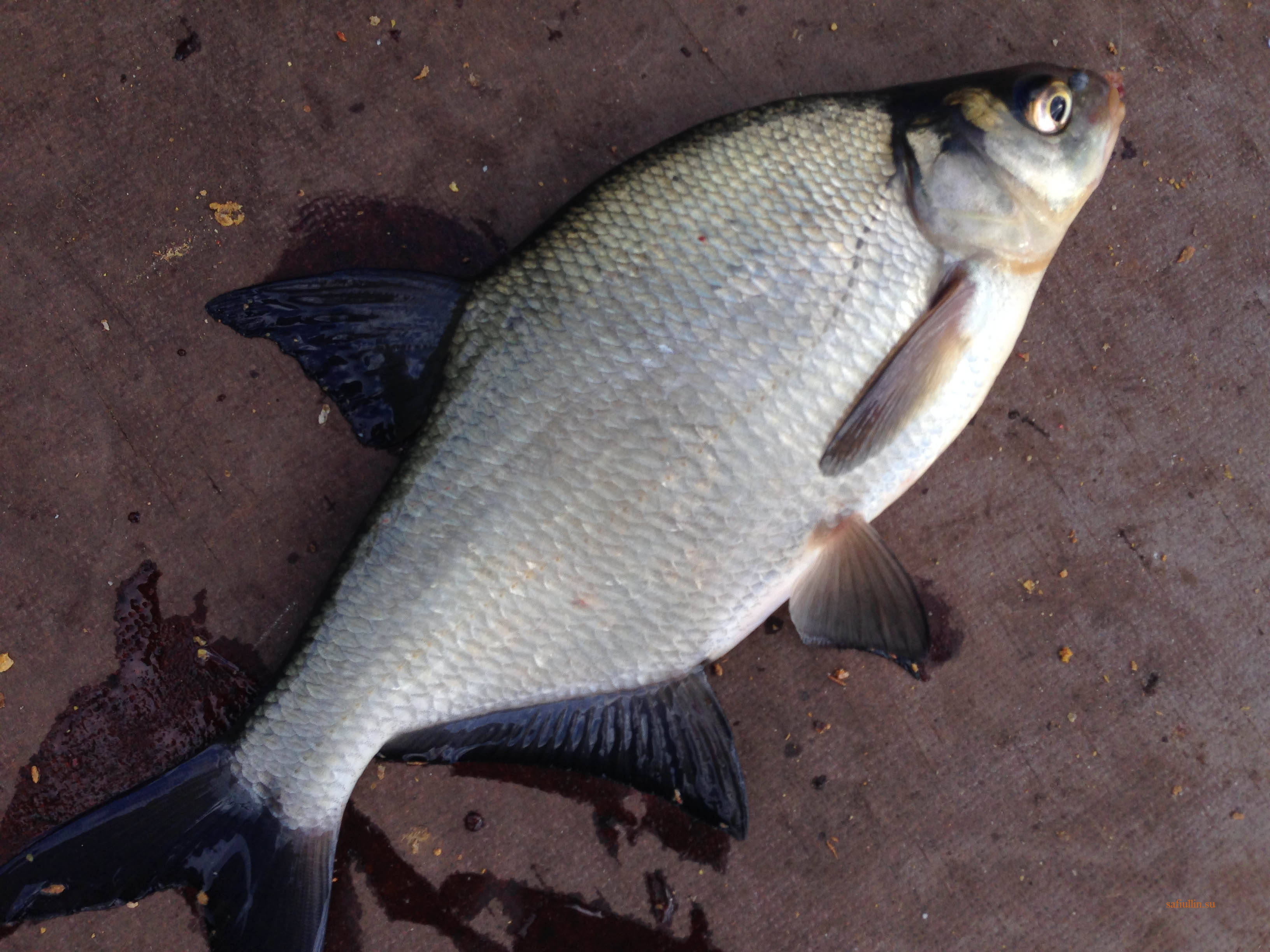 пейзажи природы альберт сафиуллин лето лещ река Лиелупе рыбалка