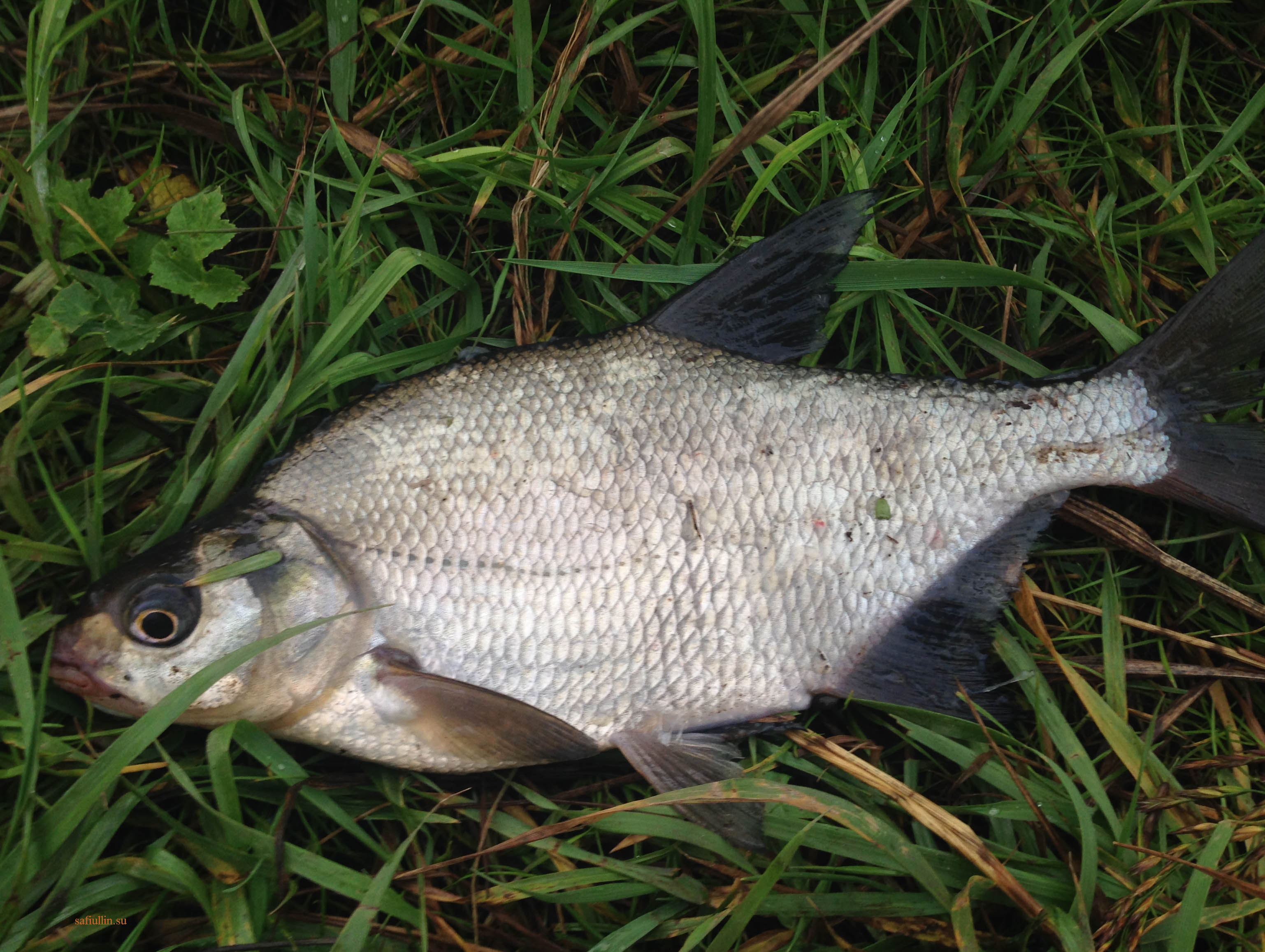 пейзажи природы альберт сафиуллин лето рыбалка лещ река лиелупе
