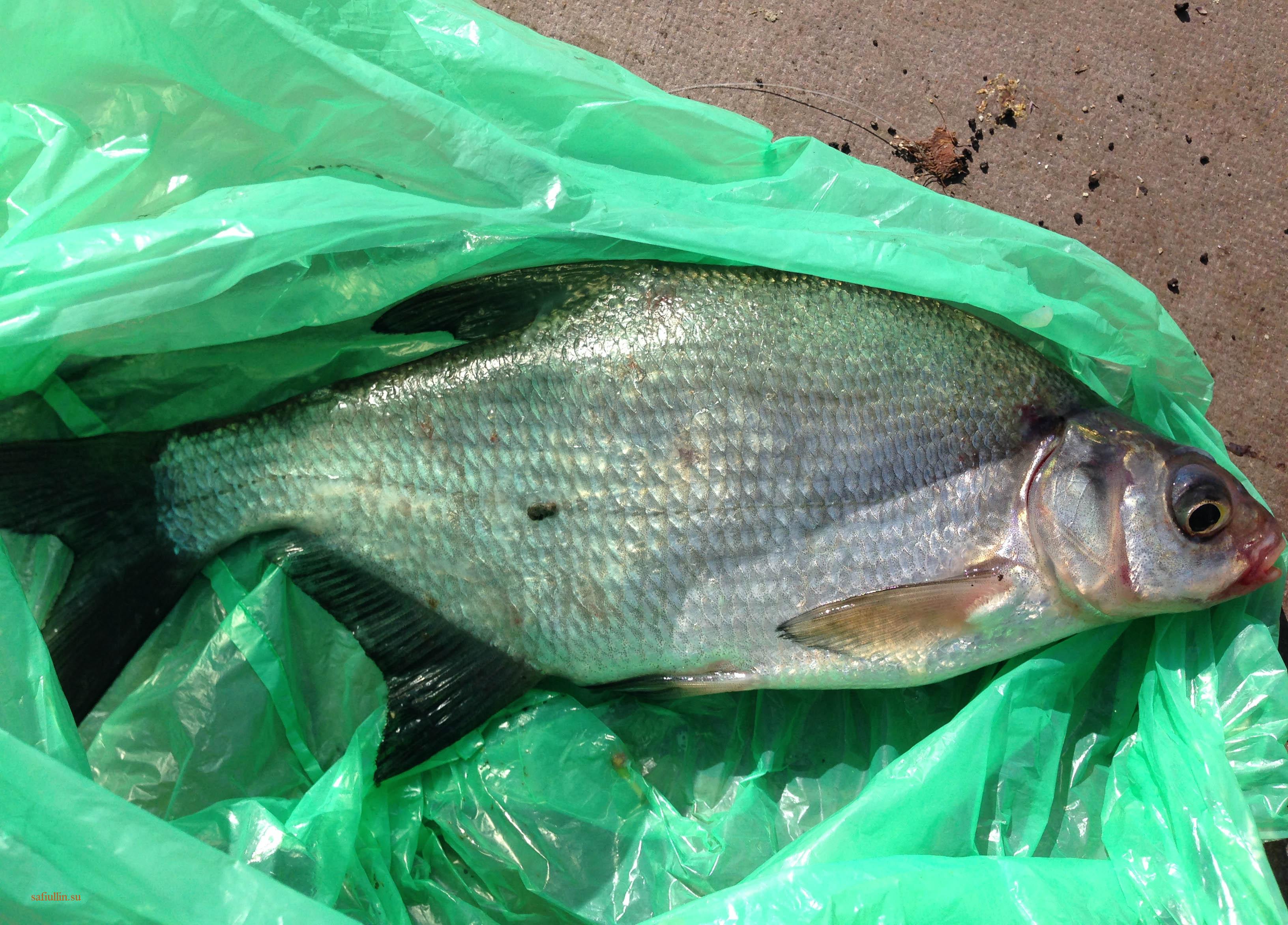 пейзажи природы альберт сафиуллин лето река лиелупе лещ рыбалка