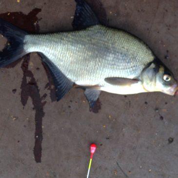 Лещ от восхода до заката. Июльская рыбалка на Большой Реке.