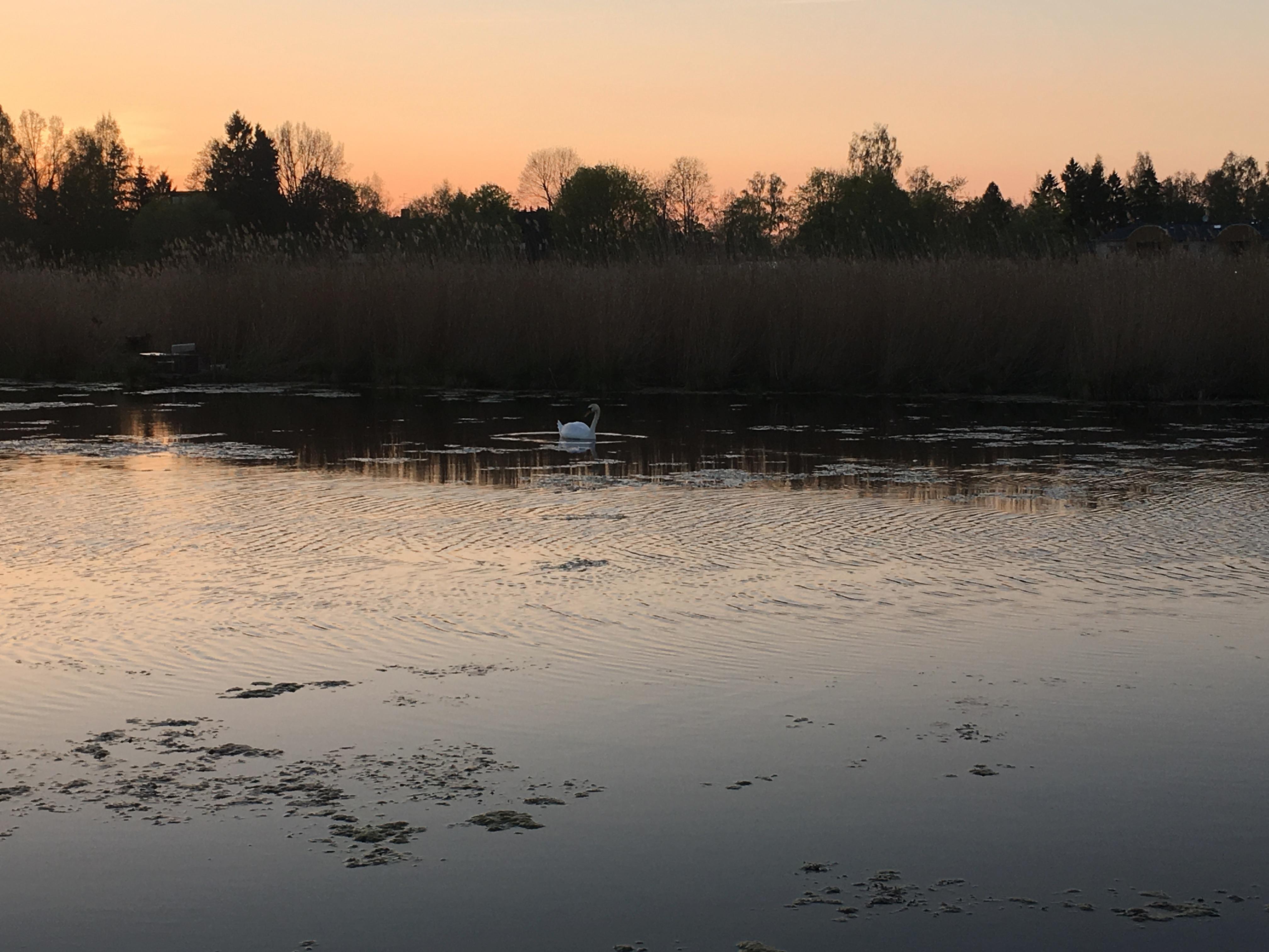 Рыбалка весна лебеди лещ май речной пейзаж юрмала лиелупе пейзажи природы Альберт Сафиуллин
