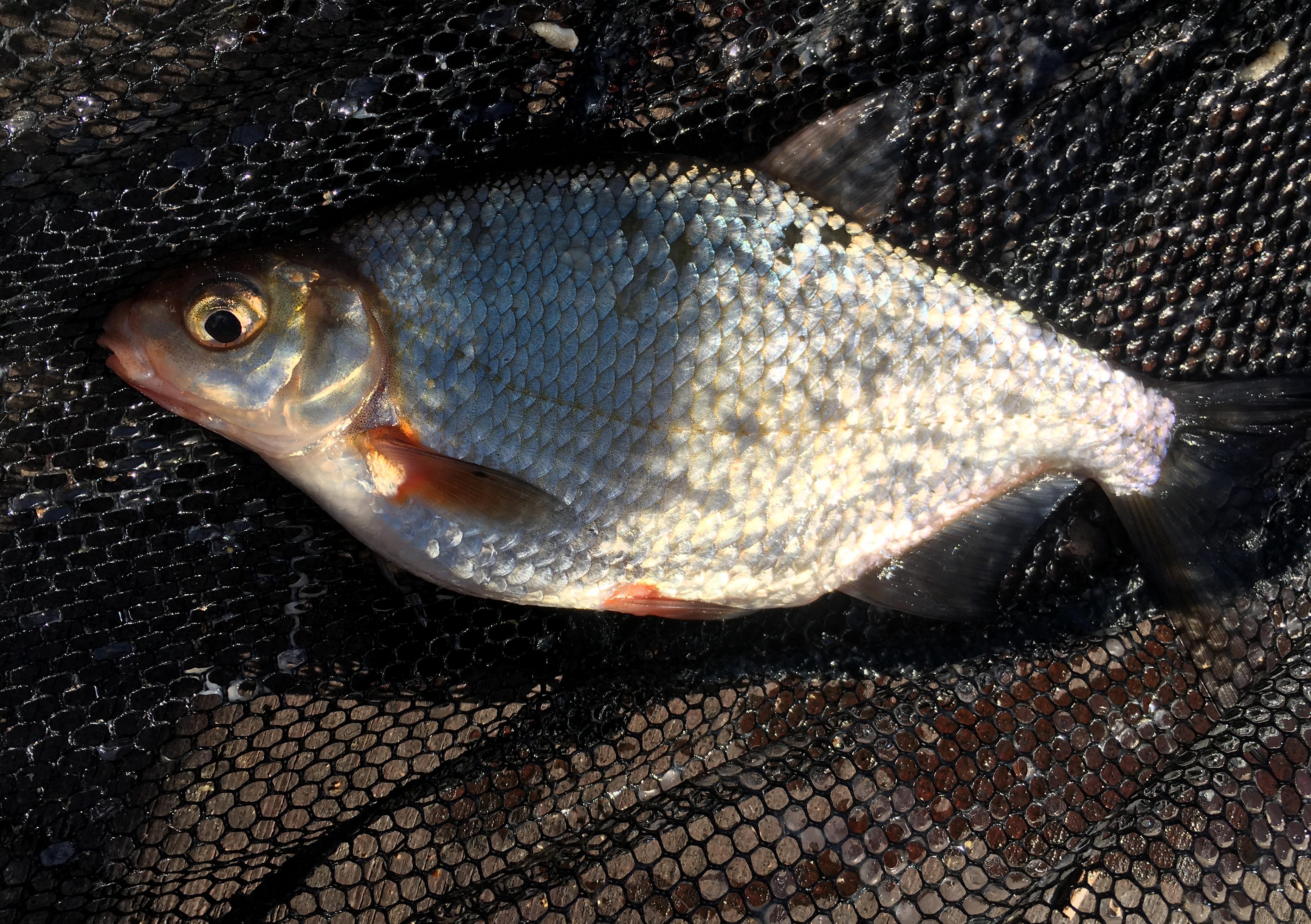рыбалка Юрмала Латвия Лиелупе пейзажи природы густера Альберт Сафиуллин Albert Safiullin