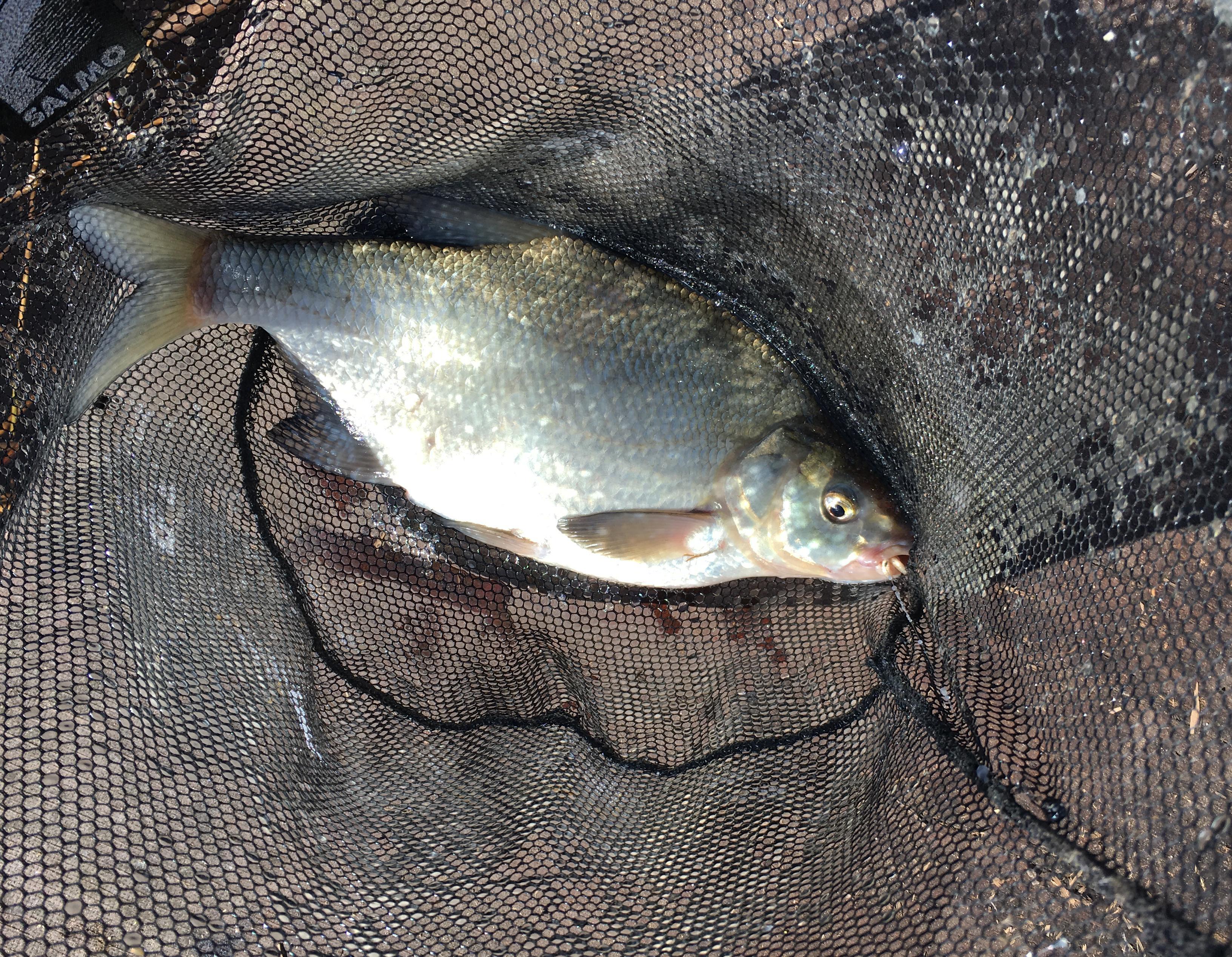 рыбалка Юрмала Латвия Лиелупе пейзажи природы лещ Альберт Сафиуллин Albert Safiullin