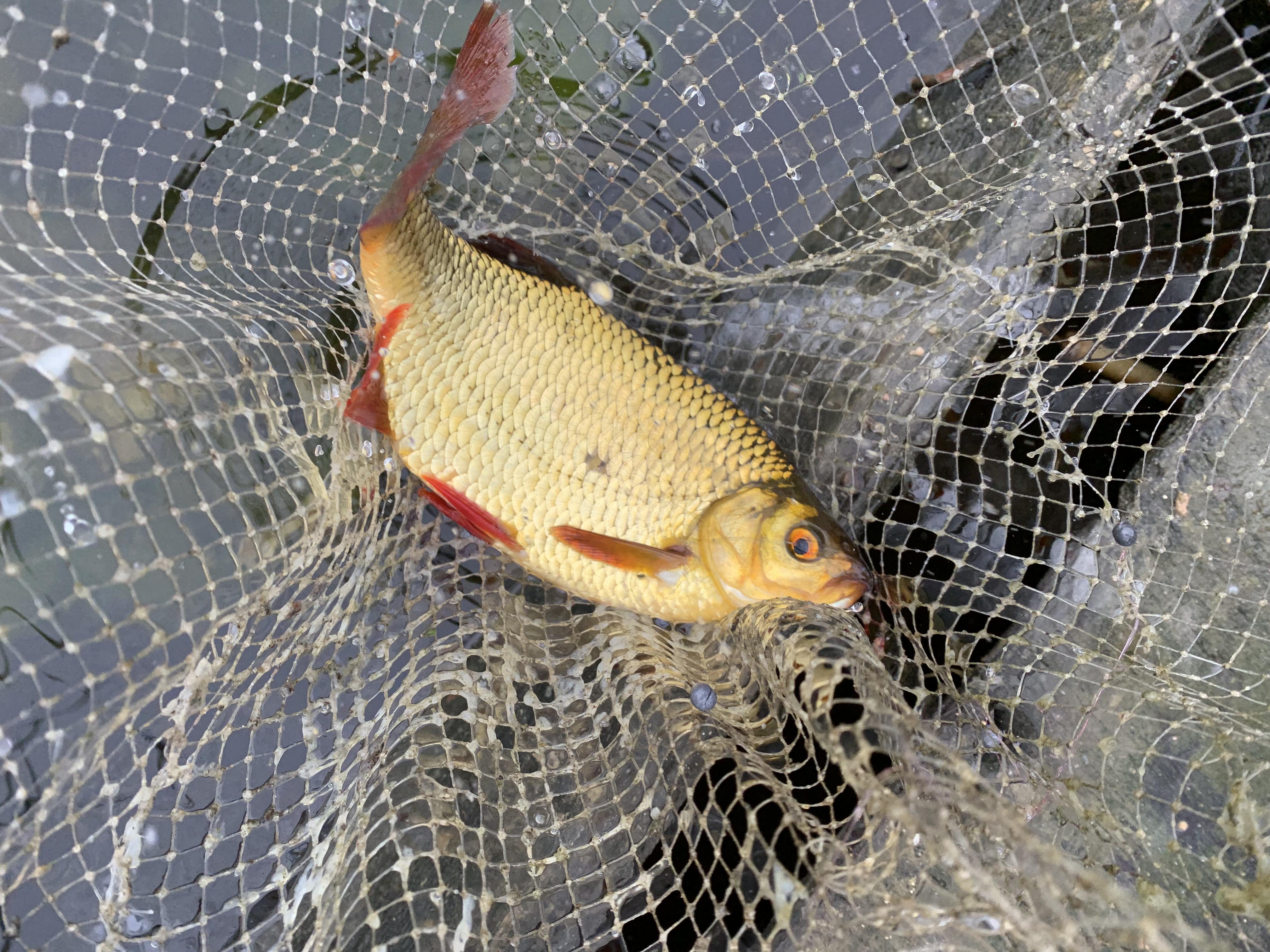 рыбалка ловля крупной красноперки в сентябре на удочку Лиелупе пейзажи природы Альберт Сафиуллин