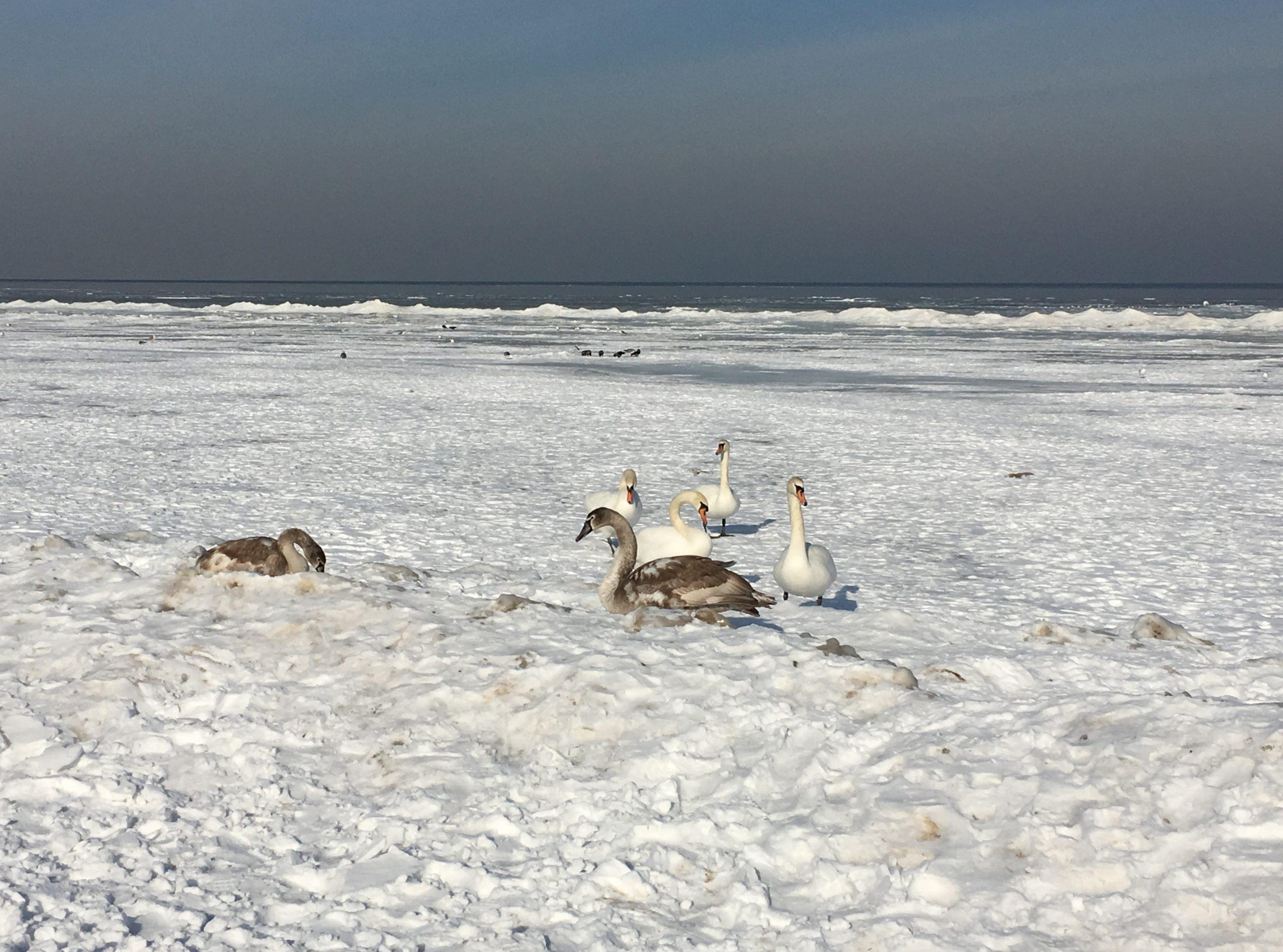Юрмала море лебеди зима пейзажи природы Альберт Сафиуллин